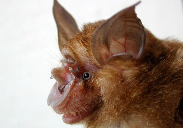 Are Bats The Plague Spreaders Of Our Time?